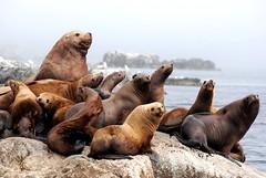 sea lion family portrait (unfocused mike) Tags: ocean family portrait fog alaska faces wildlife boulder stellar expressive sealions harem blueribbonwinner kodiakisland specanimal platinumphoto impressedbeauty highqualityanimals