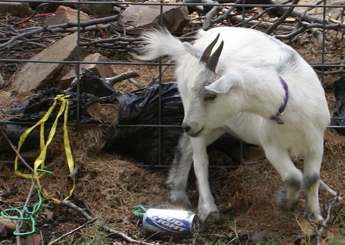 goat gettin' her beer on...see next photos / This is Today 25