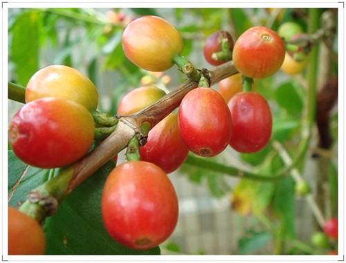 我家空中花園咖啡樹 (3)