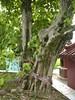 96.09.15六龜尾莊路台灣唯一克蘭老樹DSCN2028