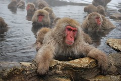 Snow Monkeys, Japan (stephenk1977) Tags: park snow hot japan japanese monkey nikon springs valley onsen monkeys nippon spa nagano shigakogen hells jigokudani macaque d60 yudanaka shibu yaenkoen kanbayashi