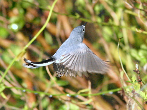 Blue-gray Gnatcatcher Hovering 20090105