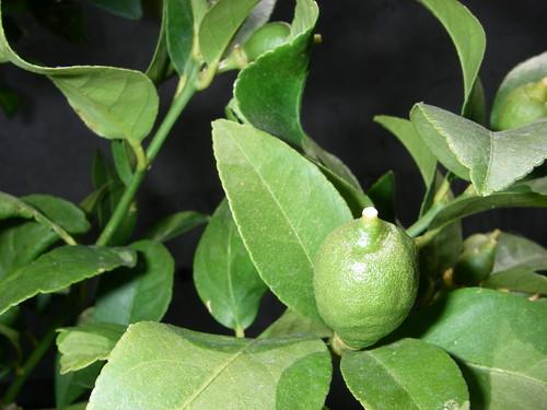 baby lemon