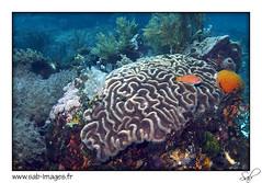 KOM14decor0499 (kactusficus) Tags: fish coral indonesia underwater dive diving reef komodo invertebrate underwaterphotography lobophyllia mussidae