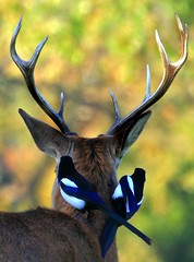 Deer with Magpies (paulafrenchp) Tags: animals magpies richmondparkdeer