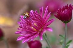 the LadyBug (Cristy McAuley) Tags: flower mum ladybug physis naturebudsleavescanon