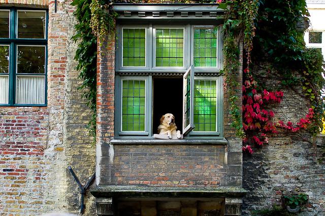 True Belgian Dog