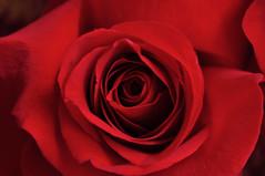 Rose (Anna Berthier) Tags: red anna flower macro rose petals nikon passion ptalas berthier rosavermelha d5000 annaberthier