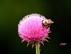Bumble Bee on Bull Thistle (tanager55) Tags: pink bumblebee naturesfinest bullthistle abigfave