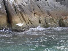 (toltequita) Tags: california blue sea naturaleza heron nature azul stone mexico mar moving waves movimiento bajacalifornia baja bajacaliforniasur olas gaviota rocas bcs loscabos piedra testigo garza vigilante toltequita juanrojo