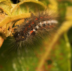 "Knotgrass Caterpillar (acronicta rumi(6) • <a style=""font-size:0.8em;"" href=""http://www.flickr.com/photos/57024565@N00/632236026/"" target=""_blank"">View on Flickr</a>"