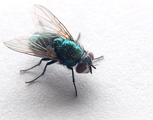 Green Bottle Fly, by laserstars, on Flickr