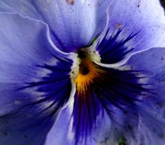 Flor (● Barbi Platino) Tags: macro agua flor contraste barbi violeta pensamiento cigarrillo supershot barbaradracz