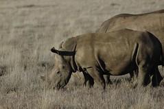 112 - Lewa - White Rhinos (FO Travel) Tags: kenya nairobi nakuru karama lewa baringo naivasha turkana gabra chalbi suguta nariokotome kalacha loyangalani logipi
