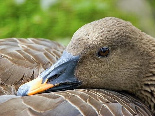 ?Duck?