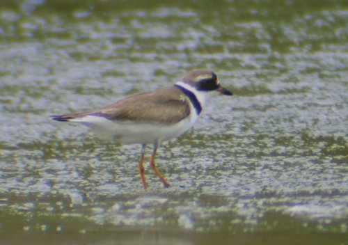 semipalmated plover3