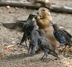 Food Fight! (Tad 20D) Tags: cute birds animal mammal zoo bravo funny searchthebest wildlife prairiedog stlouiszoo naturesfinest wonderworld nomen supershot magicdonkey specanimal zoophotography mywinners worldbest grackels frhwofavs qemdfinchfunshotoftheweek empyreananimals fiveflickrfavs empyreanelite