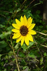 Bright Sunflower (pchowhan) Tags: sony digi