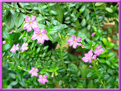 Cuphea hyssopifolia with medium pink flowers
