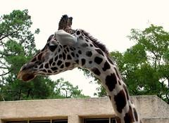 La Palmyre, Charente-Maritime - France (Mic V.) Tags: france nature animal animals fauna pen zoo la maritime giraffe animaux parc charente girafa giraffa girafe poitou zoologique palmyre charentes animalier camelopardalis