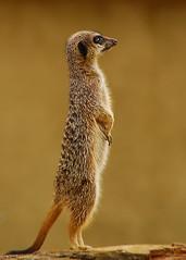 Meerkat (muppet1970) Tags: zoo meerkat colchester