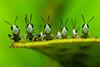 Ringside (EXPLORED!) (Andy Montecillo) Tags: macro nature insect nikon insects d200 hopper nikond200 digitalcameraclub pinoykodakero pinoymacro 100commentgroup