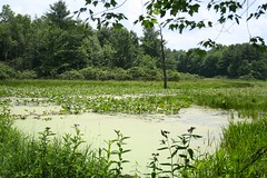 Spatterdock Pond in Summer