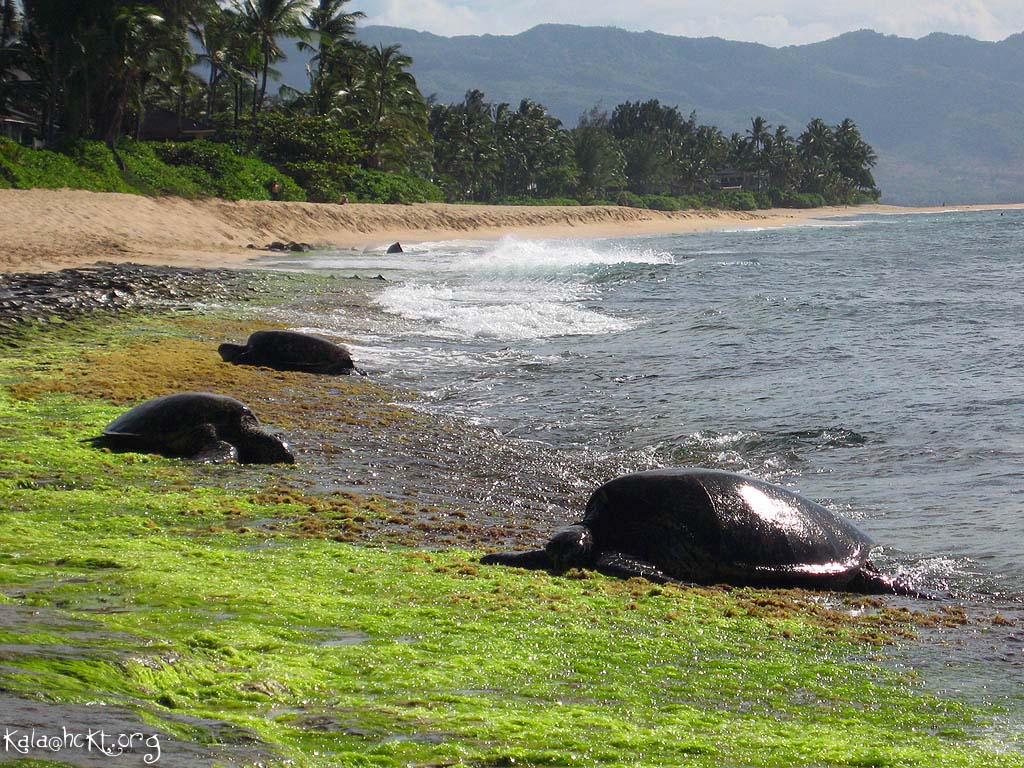 Honu Country