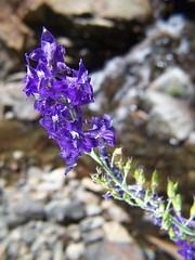 20070805 Wildflower