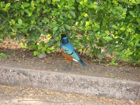 Iridiscent plumage of superb starling