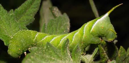 tobacco hornworm1