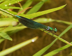 """Male Beautiful Demoiselle Damselfly ((2) • <a style=""""font-size:0.8em;"""" href=""""http://www.flickr.com/photos/57024565@N00/1340793100/"""" target=""""_blank"""">View on Flickr</a>"""