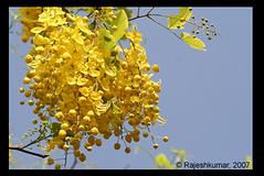 kanikonna (raku_in) Tags: yelloflower kanikonna casiafistula