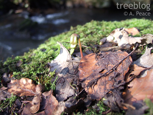 sycamore seedling