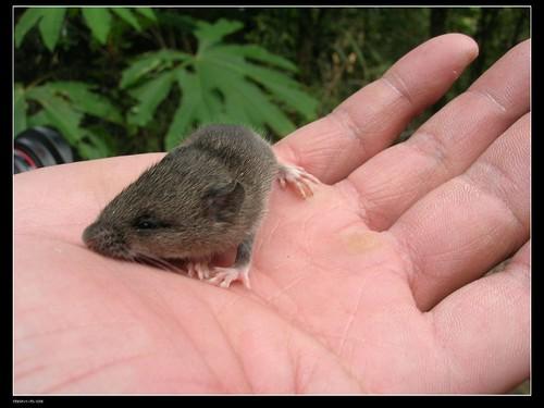 基那吉山-高山森鼠
