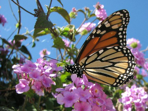 California Monarch