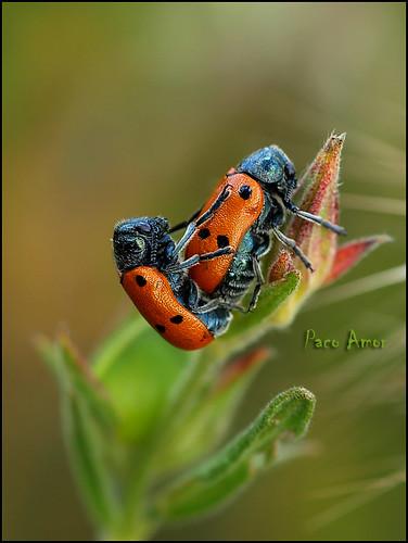 Momentos musicales (A cargo del duo Lachnaia sexpunctata o pubescens)