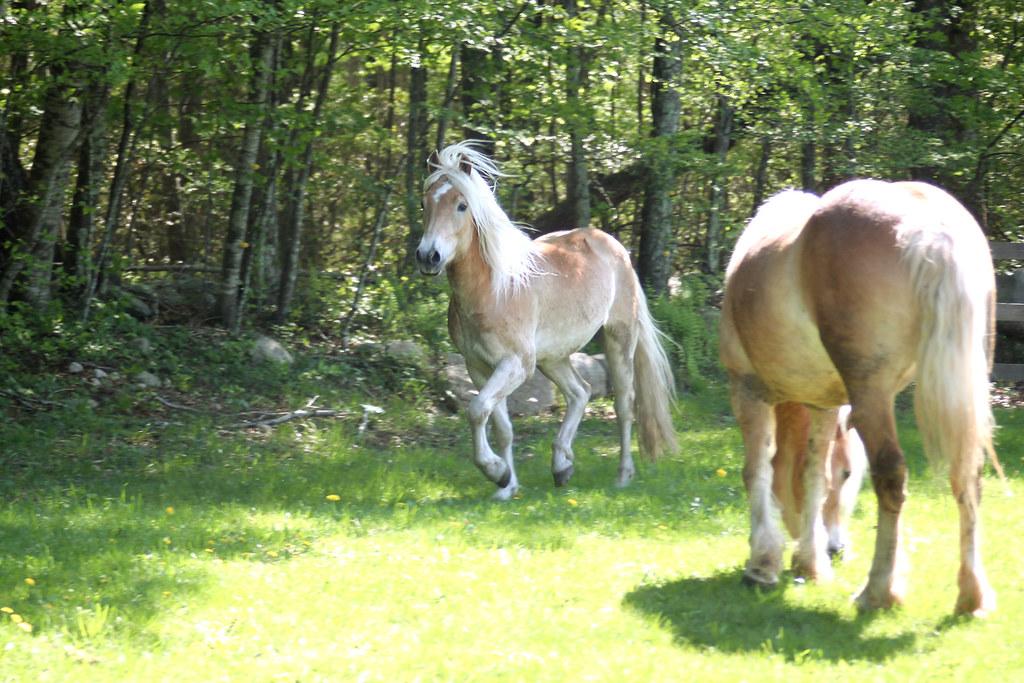 horses 250x