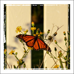 Mahogany Monarch (Chickens in the Trees (vns2009)) Tags: flowers sunset orange moon beach yellow fence butterfly nc wings northcarolina fullmoon moonrise monarch wildflowers wrightsvillebeach mahogany