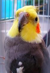 (tanakawho) Tags: orange pet bird animal yellow gray beak feather fluffy cage straightfromcamera tanakawho anawesomeshot petcockateel