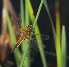 """Female Four Spotted Chaser (Libellula quadrimaculata) • <a style=""""font-size:0.8em;"""" href=""""http://www.flickr.com/photos/57024565@N00/531860302/"""" target=""""_blank"""">View on Flickr</a>"""