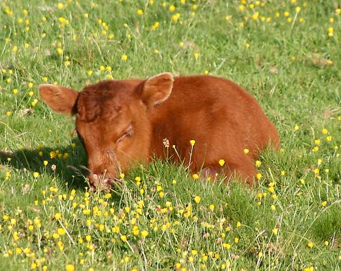 calf nap