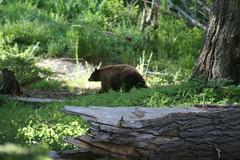 Black Bear (IMG_1491) (SWID3RSKI) Tags: california bear animal mammal sequoianationalpark blackbear 2007 ursusamericanus
