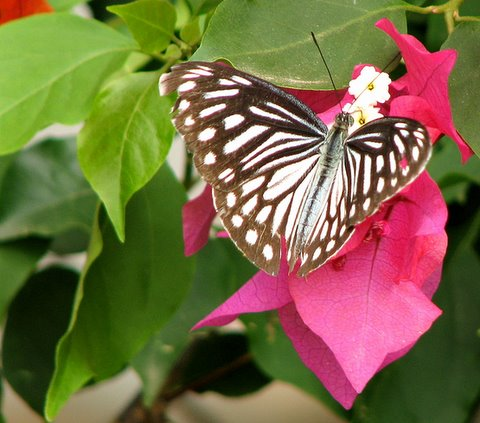 Butterfly on Bougainvillea070707 PfA shelter Kengeri