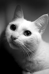 B&W Peach (lulu.photo) Tags: rescue cat nikon kitty d100 luluphoto bestofcats aplusphoto misterpeaches