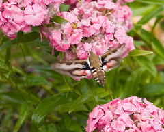 White-lined sphinx Hyles lineata (Dreamtroll) Tags: flowers summer sphinx delete10 delete9 insect delete5 delete2 leaf delete6 delete7 save3 delete8 delete3 delete delete4 save save2 save4 hummingbirdhawkmoth whitelined hyles lineata nelikk whitelinedsphinxhyleslineata
