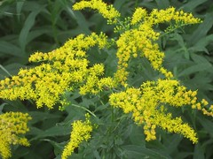 Goldenrod Blooms (anselm23) Tags: goldenrod blooms latesummer