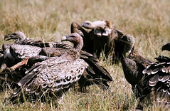 Vautours - Vultures (Dlirante bestiole [la posie des goupils]) Tags: africa bird birds animals ilovenature lunch vultures pars afrique masamara charognards