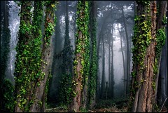 cypress forest (jody9) Tags: sanfrancisco trees fog foggy cypress presidio darkforest utatafeature