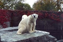 Eisbären / Polar bear